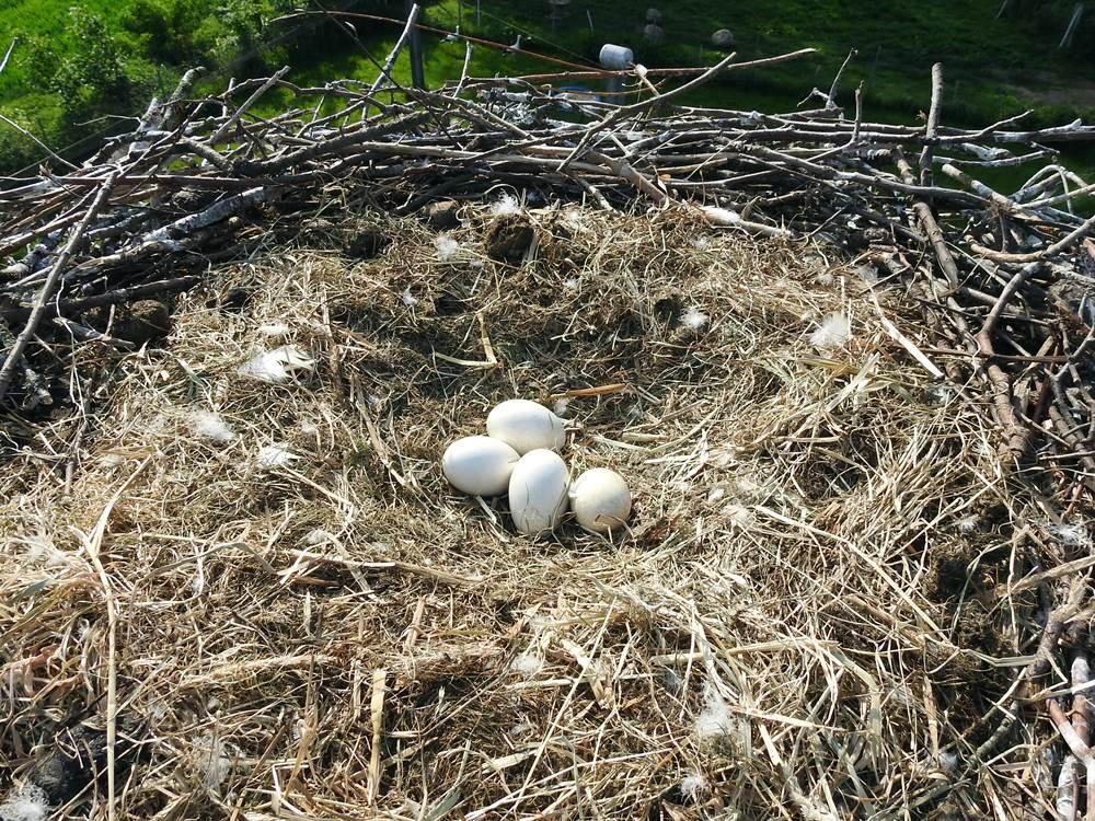Es bebrütet ein Gelege mit vier Eiern