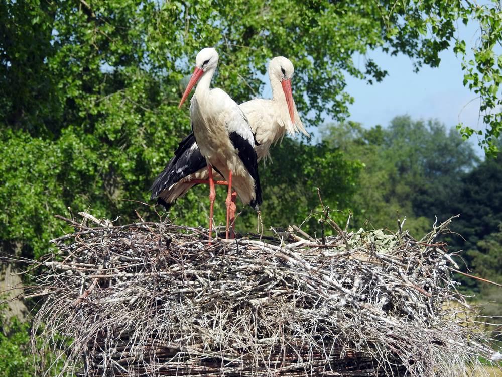 Ein Storchenpaar hat sich zur Brut niedergelassen