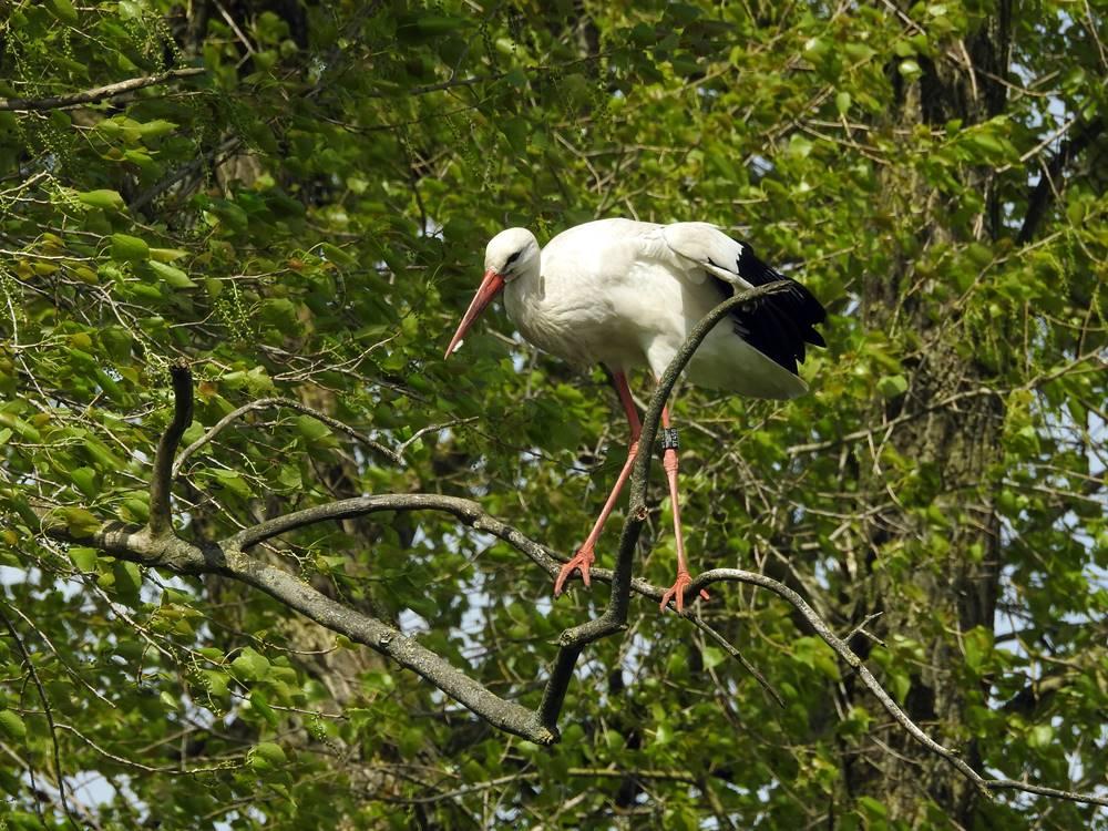 Storch im Baum